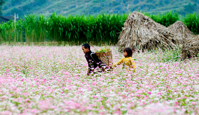 Buckwheat flower festival 2017 in Ha Giang province